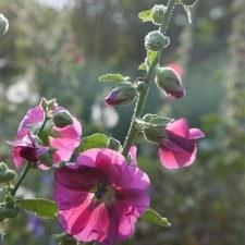Chanticleer Garden Fig Leaved Hollyhock (Photo Credit: Lisa Roper)